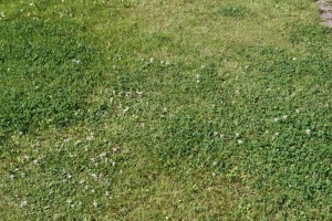 nicht vertikutierter  Rasen